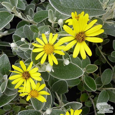 buy brachyglottis sunshine senecio sunshine   uk