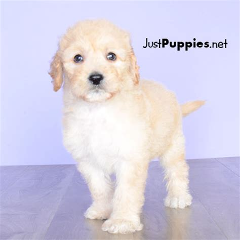 mini labradoodles orlando puppies for sale orlando fl justpuppies net