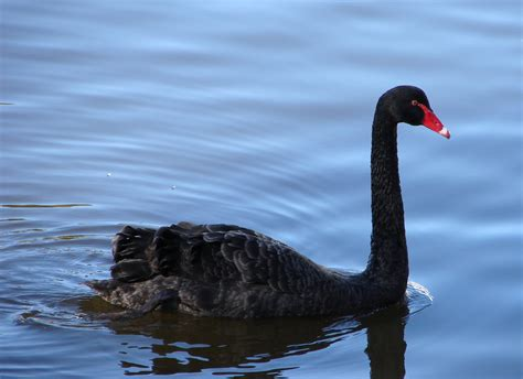 black swans stock photos images pictures shutterstock free black swan stock photo freeimages com
