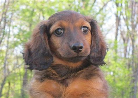 dachshund puppies for sale in indiana pin by borkgren on dachshund 1