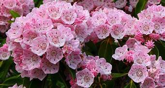 Home Decor Sweepstakes connecticut state flower mountain laurel proflowers blog