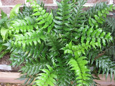 Colourful Foliage Plants - plants amp flowers 187 cyrtomium falcatum