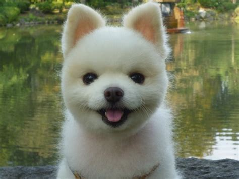 how does it take for pomeranian hair to grow pomeranian owners breeders how do i get a pom that looks like this yahoo answers