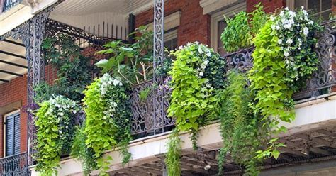 Make your Balcony Green Garden lively with Creepers