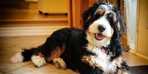 bernese mountain dogs 101 breeds picture