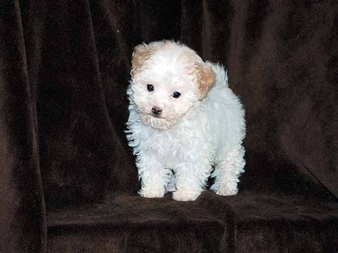 bichon frise poodle lifespan 17 best images about animal pics greetings on