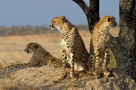 south african cheetah simple english wikipedia the free file acinonyx jubatus sabi sand jpg wikimedia commons