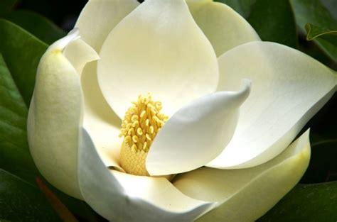schöne pflegeleichte gartenpflanzen farbe magnolia innenarchitektur und m 246 bel inspiration