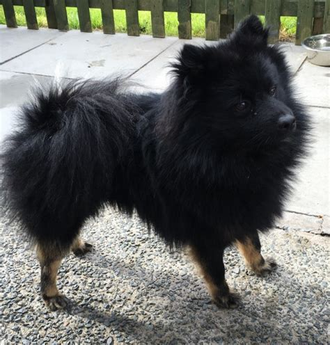 black and brown pomeranian puppies brown pomeranian puppy www imgkid the image kid has it