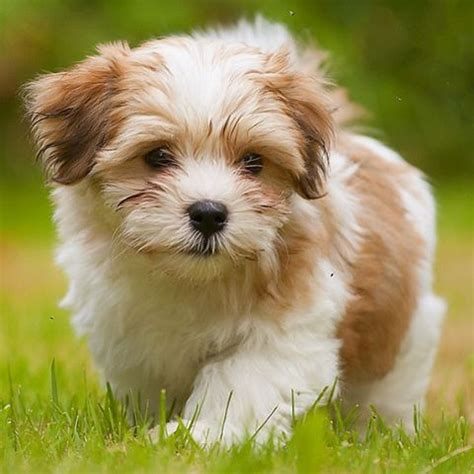 curly havanese puppies 25 best ideas about havanese puppies on puppy breeds cockapoo