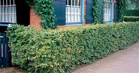 beukenhaag compleet free carpinus betulus with snoeien beukenhaag voorjaar