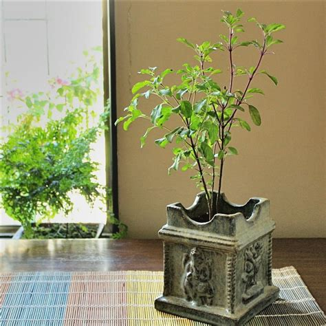 plants at home bring quot tulsi quot at your balcony garden bring healthiness