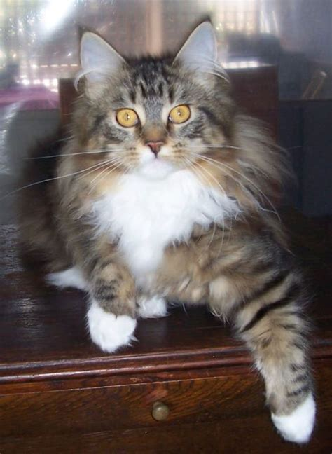 cat breeders maine coon breeders australia maine coon info kittens