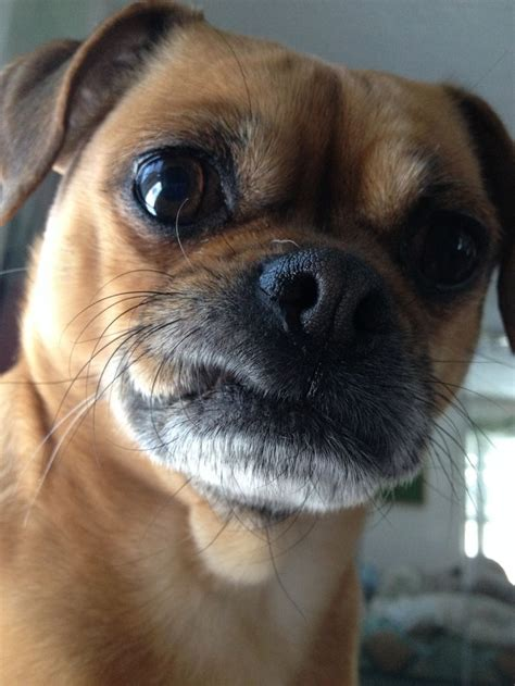 pug griffon brussels griffon images breeds picture