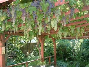 foodscaping growing grapes as ornamentals monsanto more