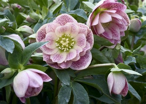 connoisseur helleborus plants collection pack of five double ellen hellebore plants