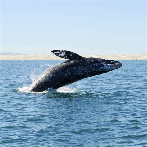the gray whale migration has begun