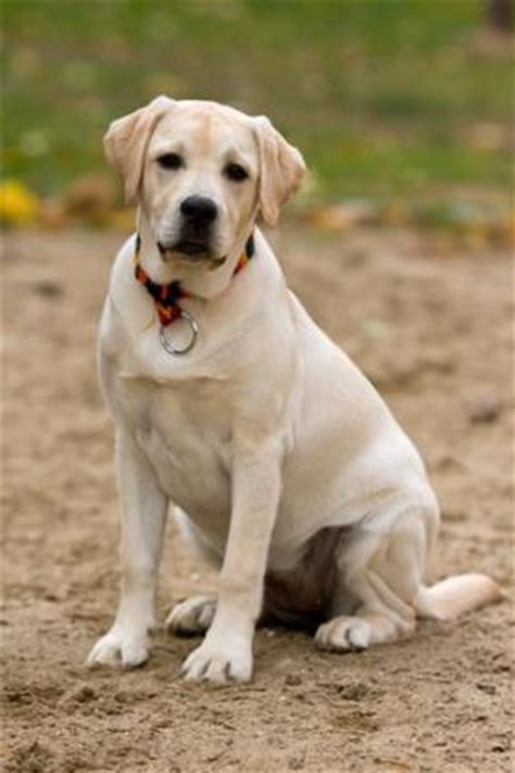 what age is a puppy grown how to tell when a puppy is grown lovetoknow