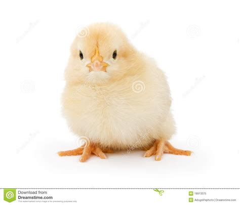 Little House Plans Free a baby yellow chicken isolated on white royalty free stock