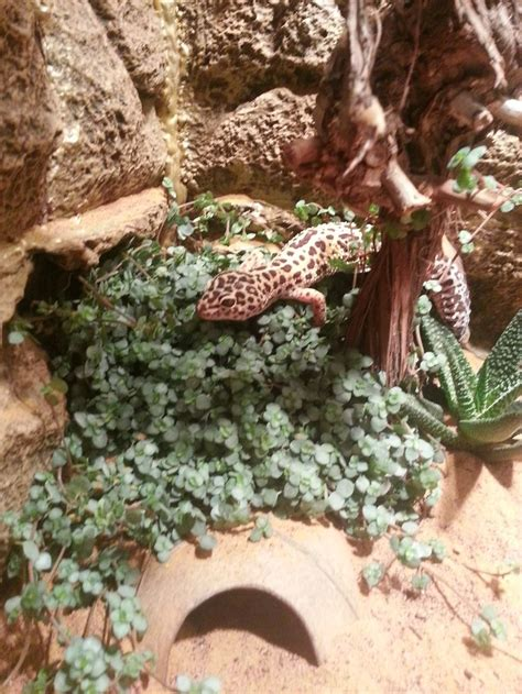 27 best reptiles and hibians images on pinterest 17 best images about leopard gecko on pinterest rocks