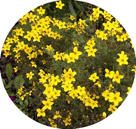 Yellow Garden Flowers Identification Yellow Flowers Identification