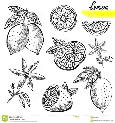 design element citrus lemon fruits set stock vector image 48888332