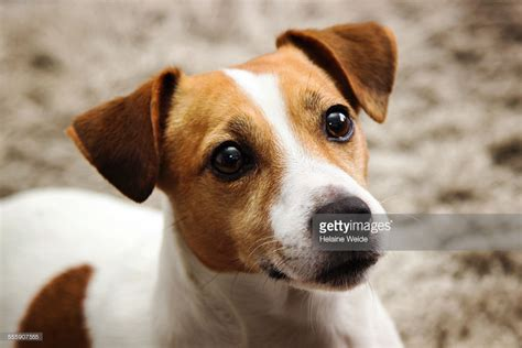 russel puppy russel stock photo getty images