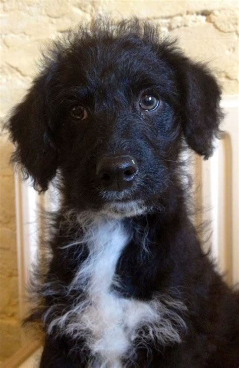 collie doodle puppies for sale collie doodles ready now scruffy lots of melton