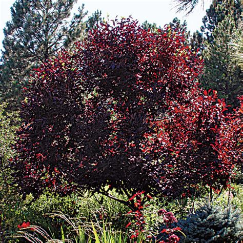cherry tree app schubert choke cherry finegardening