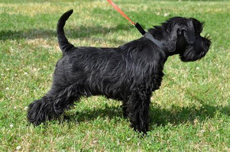 miniature schnauzer dog breed miniature schnauzer dog breed information buying advice