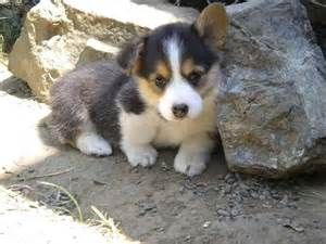 Corgi Puppies Usa Puppy Pictures