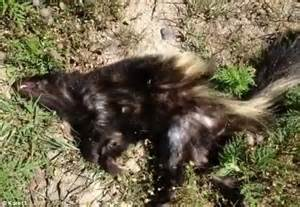 skunk shoo for dogs image gallery skunk
