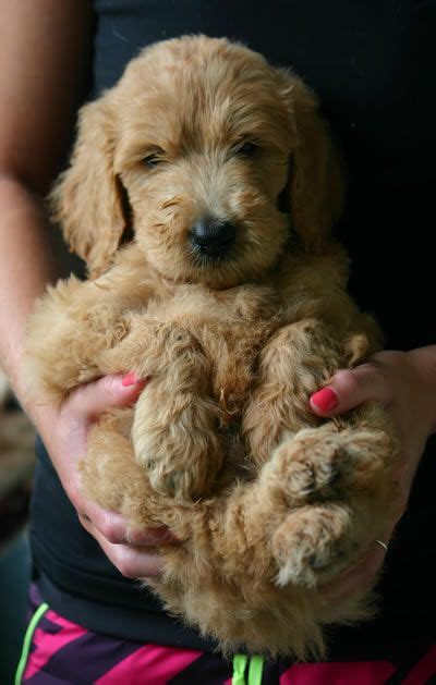 goldendoodle puppy facts the goldendoodle golden retriever poodle oh my