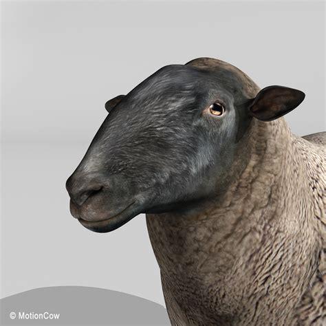 sheep black motioncow