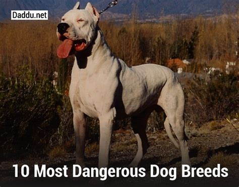 vicious breeds 10 most dangerous breeds