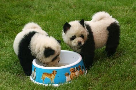 panda dogs panda dogs china s newest adorable fashion craze photos international business times