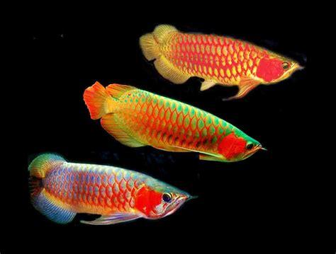 Daftar Bibit Ikan Arwana 15 harga ikan arwana terbaru kualitas unggulan cocok