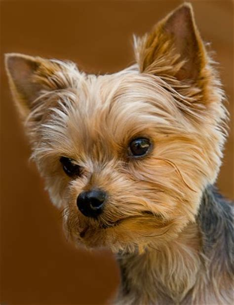 hair cut for tea cup yorkies 17 best ideas about yorkie haircuts on pinterest