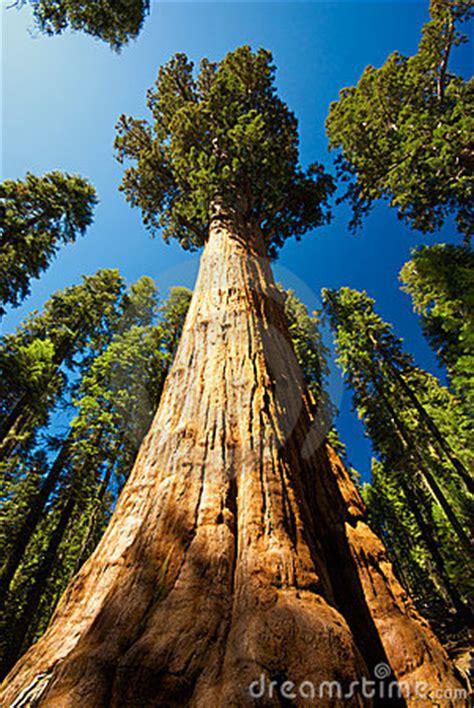 giant sequoia stock photo image