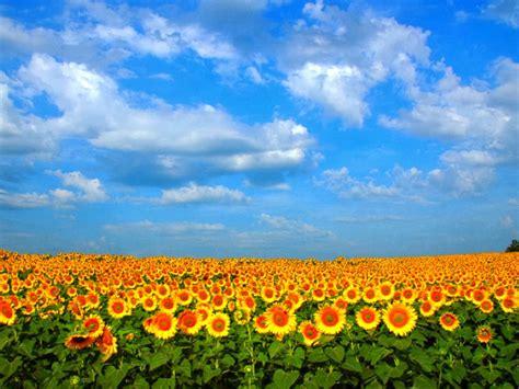 gambar bunga cantik related keywords gambar bunga cantik