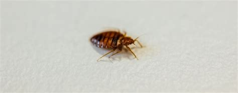 types of bed bugs types of bed bugs and different species jg pest control