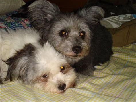 shih tzu terrier mix for sale shih tzu terrier puppies sold 9 years 10 months shih tzu mix terrierx