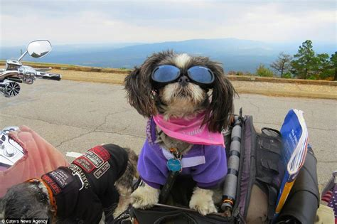 shih tzu goggles meet the shih tzus that travel across the us on a harley davidson daily mail