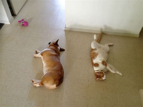 corgis that are adorably in this corgi s best friend is a cat they are adorably