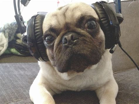 pug sound 92 best m 246 pse images on animals pugs and pug dogs