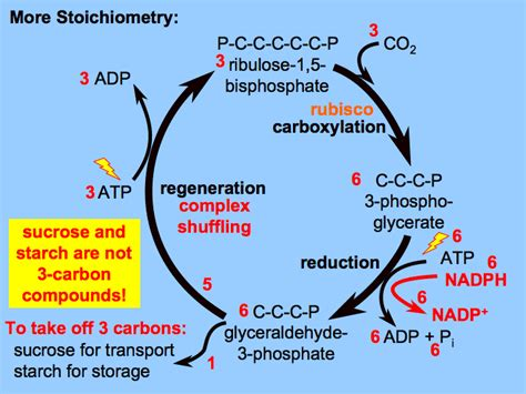 3 ways carbohydrates are used by cells what is the of water in the light dependent reactions
