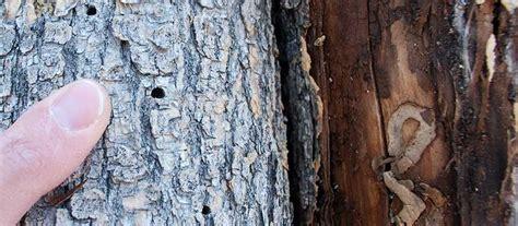 emerald ash borer colorado state forest service