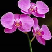 manutenzione orchidee in vaso orchidee