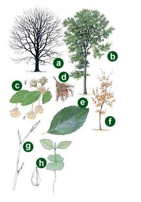 wäschekommode buche die pflanzen buche natur und erholung im sachsenwald