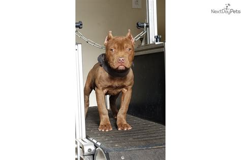 pitbull puppies for sale in greenville sc choco american pit bull terrier puppy for sale near greenville upstate south